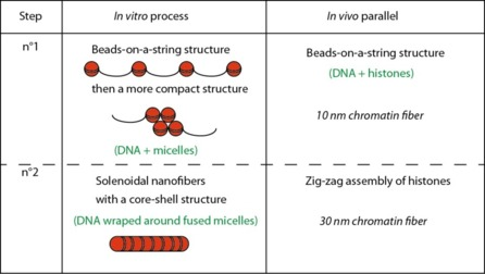 DNA/Polymeric Micelle Self-Assembly Mimicking Chromatin Compaction.