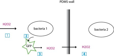 (1) H2O2 signal, (2)the bacteria 1 starts expressing GFP, (3) upon exposure, the GFP generates H2O2, (4) H2O2 crosses the PDMS wall and starts the same chain for bacteria 2.