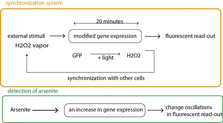 Fig 2a. The synchronizing circuit (in orange) is slightly modified to respond to an arsenite concentration of 0.25 to 1 uM (scheme in green). Arsenite leads to the activation of a supplementary promoter allowing for the expression of GFP.