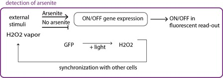 Fig 2b. The circuit itself is modified, the promoter that lead to GFP expression can only be activated in the presence of arsenite.
