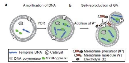 Figure 1.a. published in the paper: Amplification of DNA within a GV. An aqueous dispersion of GVs containing PCR reagents was prepared using a film-swelling method with a buffered solution containing template DNA, primers, fluorescent tag SYBR Green I, deoxynucleoside triphosphates, DNA polymerase and Mg2+
