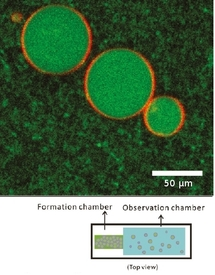 Encapsulation of cytoskeletal protein in giant liposomes