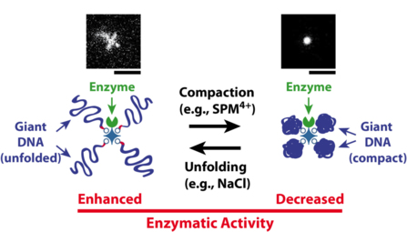 F1000 prime recommends our recent Angewandte paper on giant DNA-enzyme conjugates!