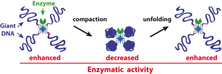 Our paper on giant DNA-enzyme star-shaped conjugates just published in Angewandte!