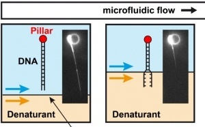 Microfluidic single-DNA unzipping just published in ChemComm!