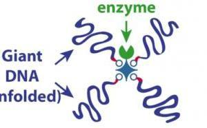 Our Angewandte paper on giant DNA-enzyme conjugates highlighted on CNRS website