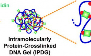 Protein-Crosslinked DNA Gels published in Small!